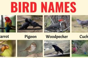 Bird Names: Different Types of Birds in English with the Picture! 42