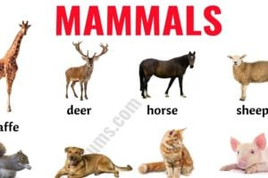 Mammals: List of Mammals in English with ESL Picture! 17