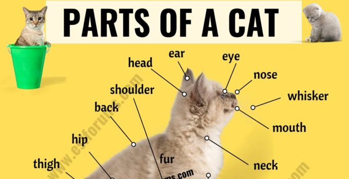 Cat Anatomy: Different Parts of a Cat with ESL Picture! 1
