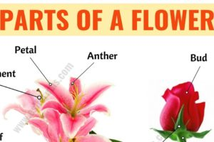 Parts of a Flower: Learn Different Flower Parts with ESL Picture 11