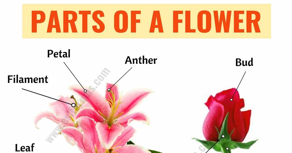 Parts of a Flower: Learn Different Flower Parts with ESL Picture 1