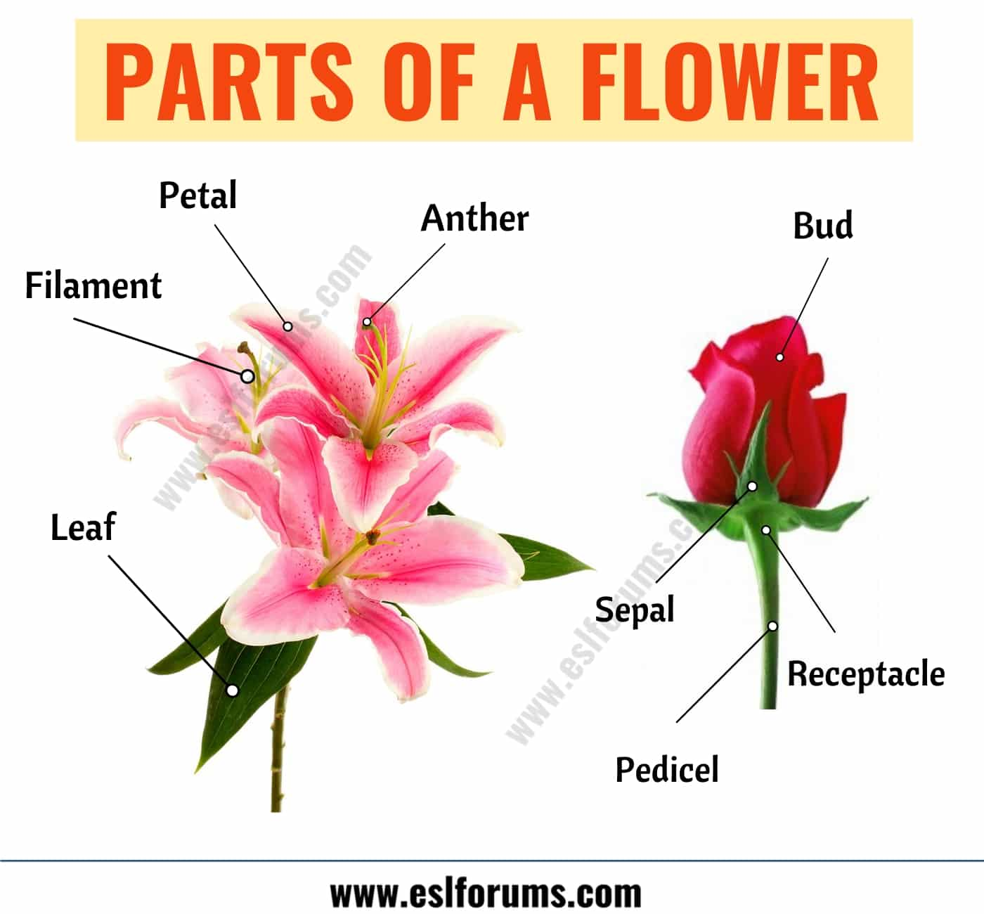 Parts of a Flower: Learn Different Flower Parts with ESL Picture