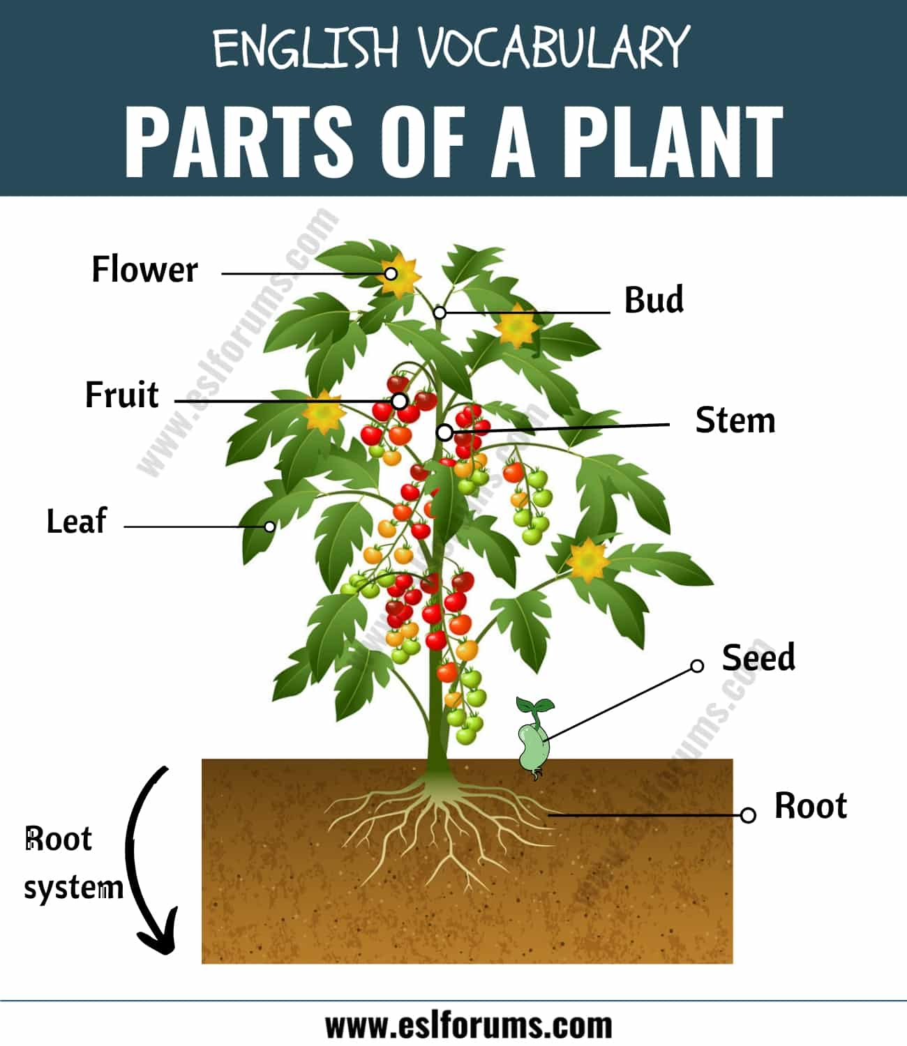 Parts of a Plant: Different Parts of a Plant with ESL Picture!