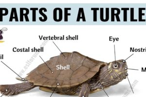 Turtle Anatomy: Useful Parts of a Turtle with ESL Picture! 11