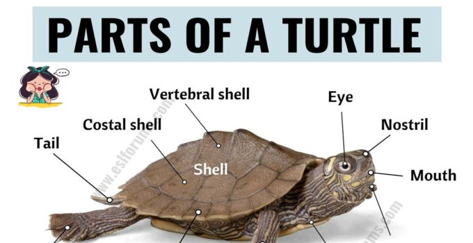 Turtle Anatomy: Useful Parts of a Turtle with ESL Picture! 1