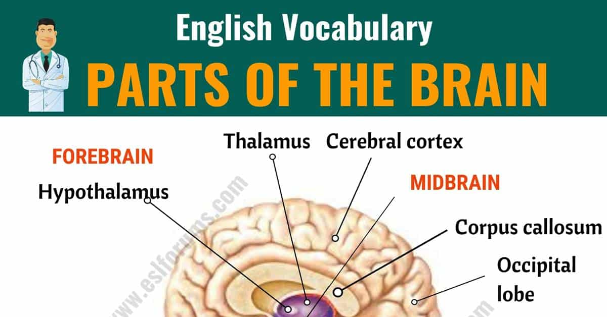 Parts of the Brain: Different Parts of Brain and Their Functions 1