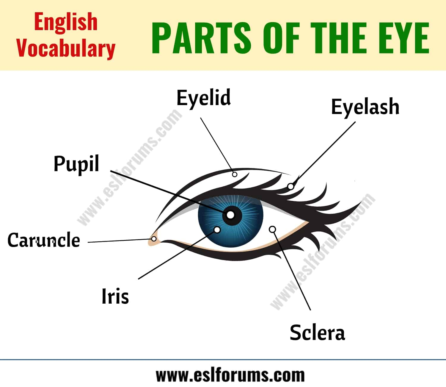 Parts of the Eye: Learn Different Eye Parts with ESL Picture!