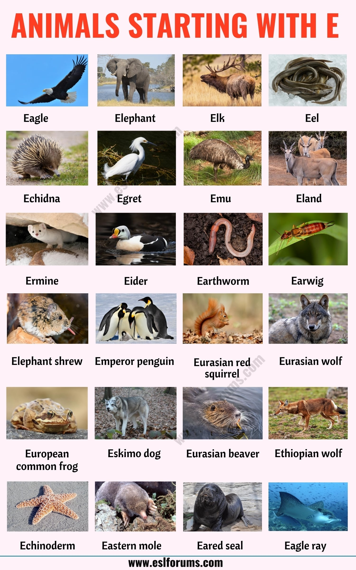 Animals that Start with E: List of 20+ Animals Starting with E with Useful Examples