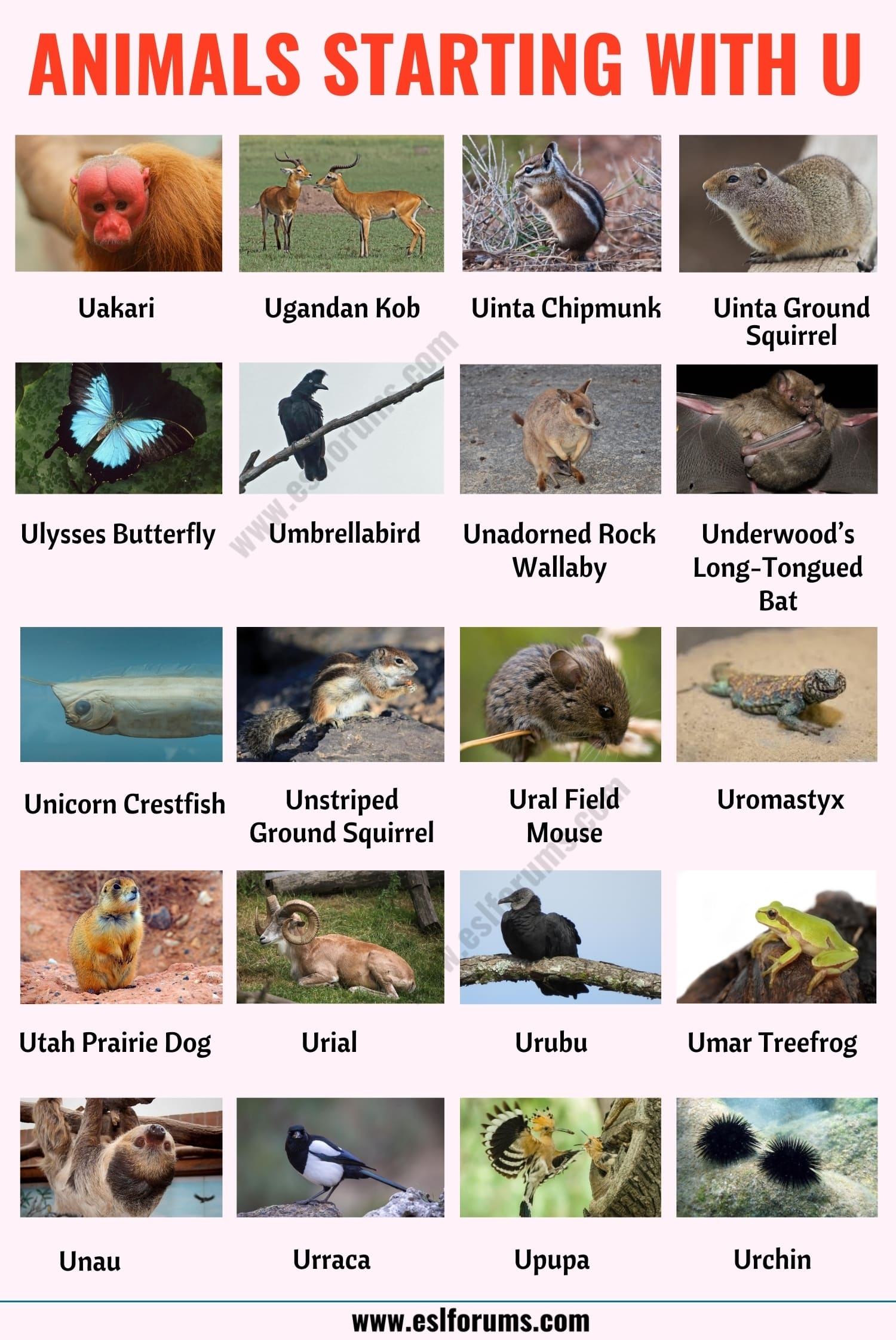 Animals that Start with U: List of 20 Animal Names that Start with U in English