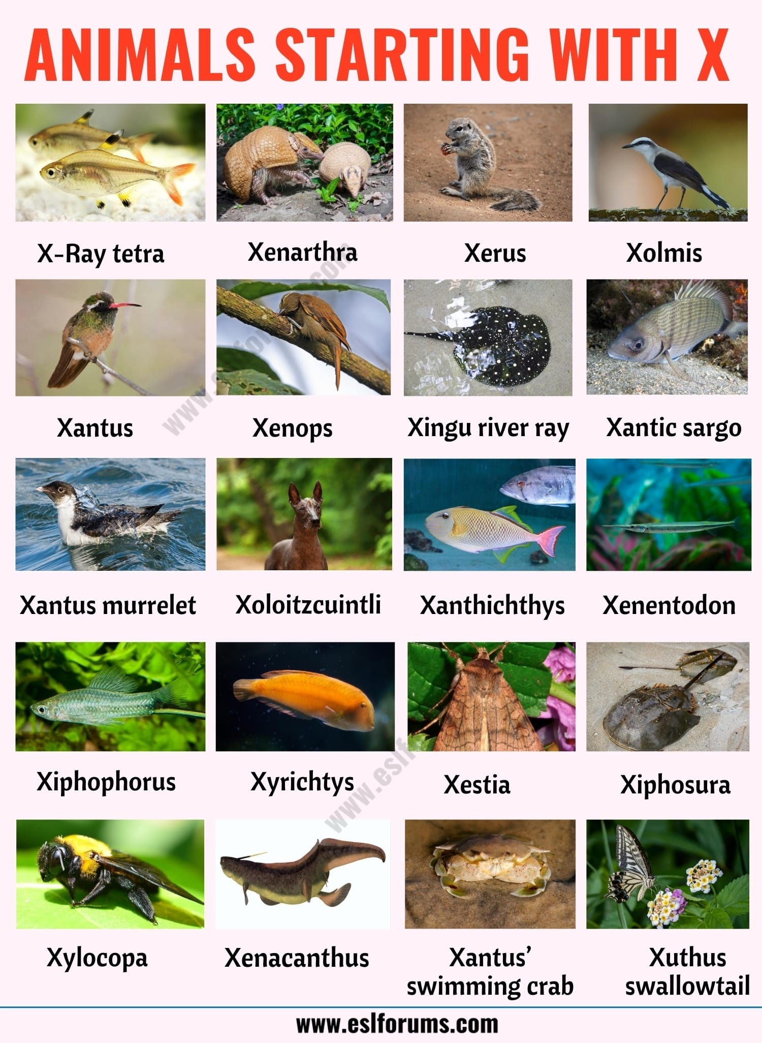 Animals that Start with X: List of 20+ Animals Starting with X with ESL Picture