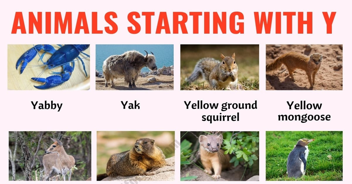Animals that Start with Y: List of 23 Animals that Start with Y in English with ESL Picture 1