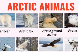Arctic Animals: List of 32 Animals that Live in the Arctic with ESL Picture! 1