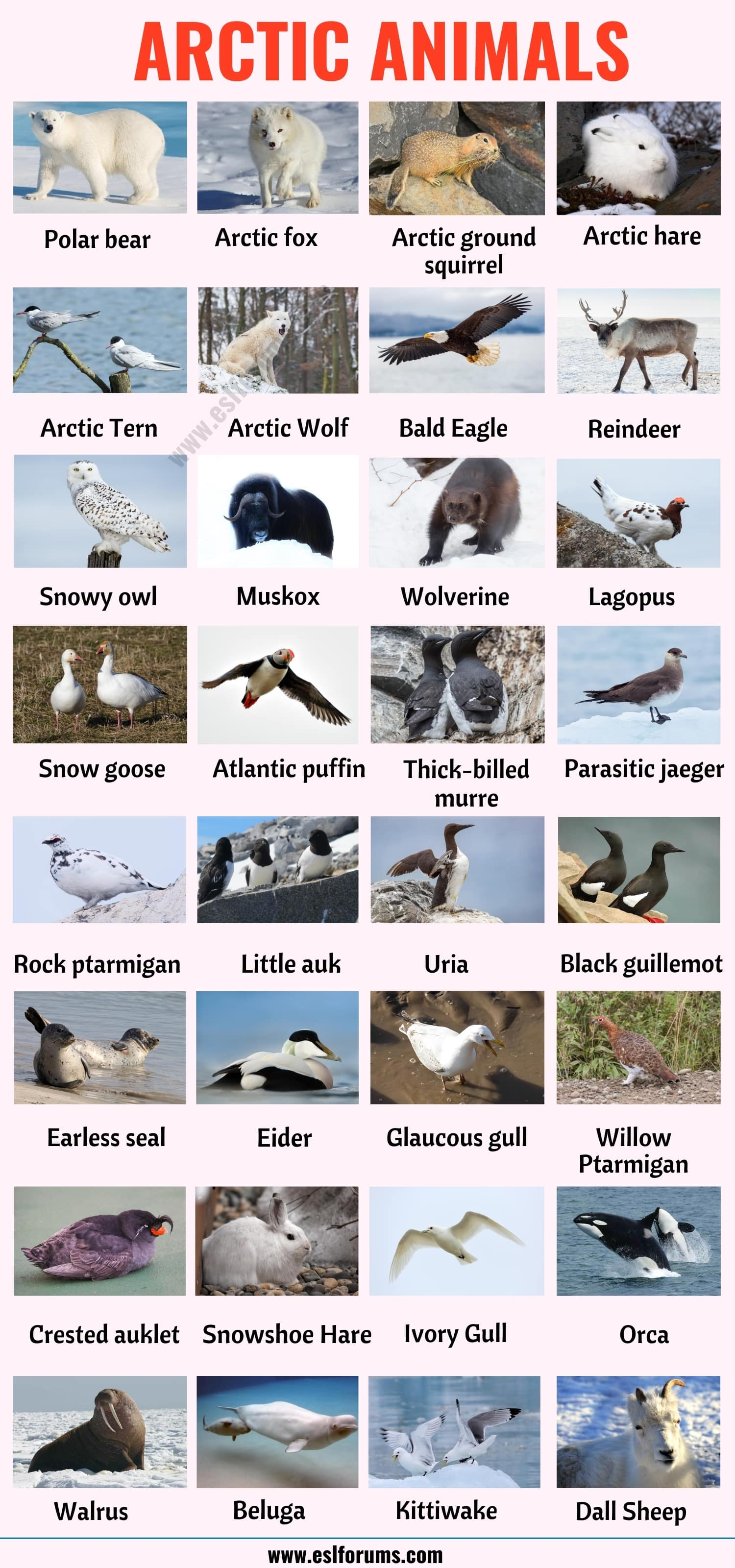 Arctic Animals: List of 32 Animals that Live in the Arctic with ESL Picture!