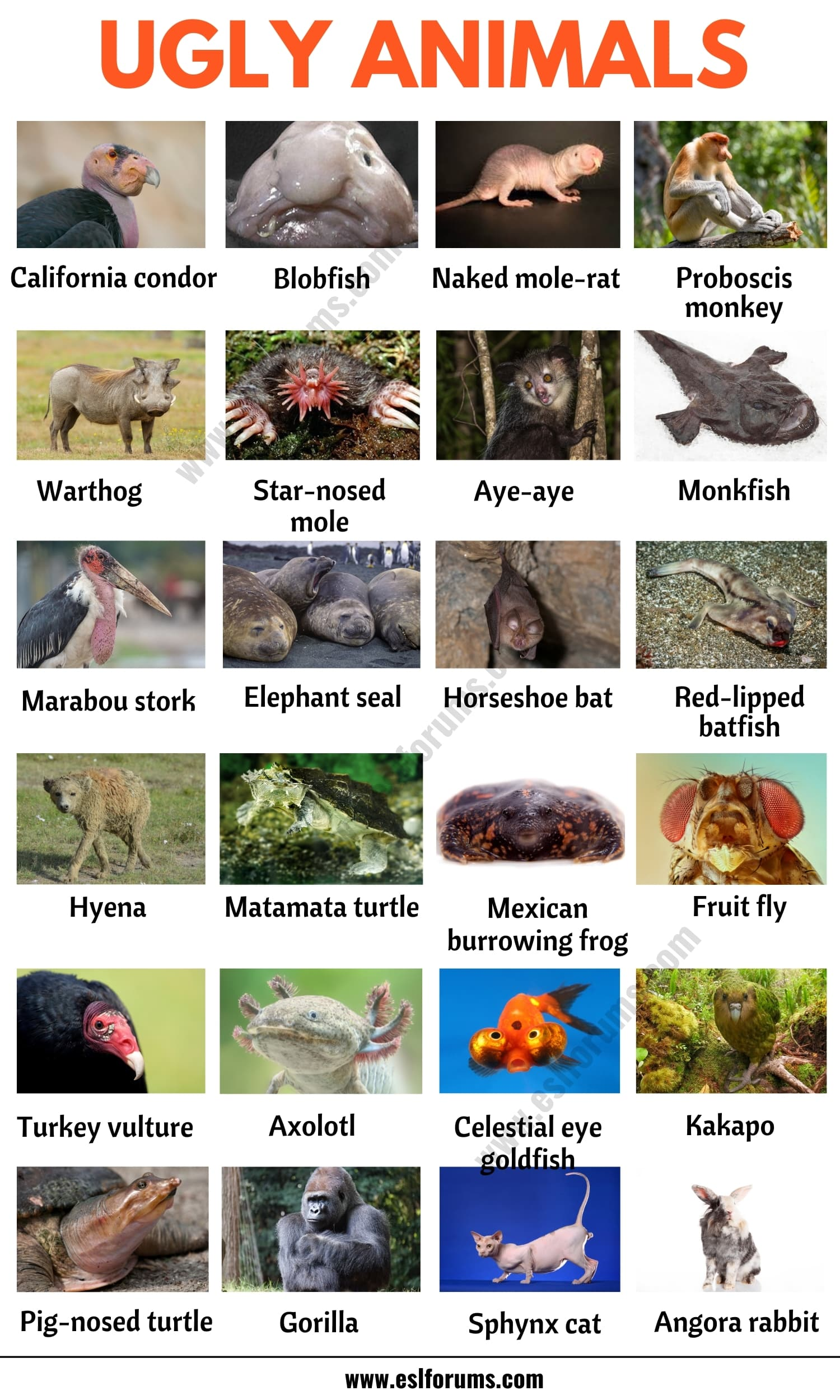 Ugly Animals: List of 20 Ugly (but Cute) Animals in English with ESL Picture!